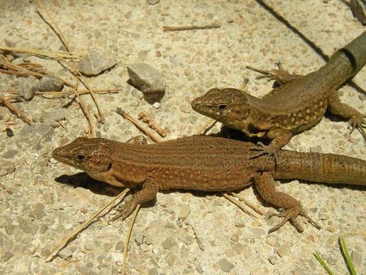 Lilford's Wall Lizard (Podarcis lilfordi gigliolii), Ille de sa Dragonera, Mallorca, Spain, July2011