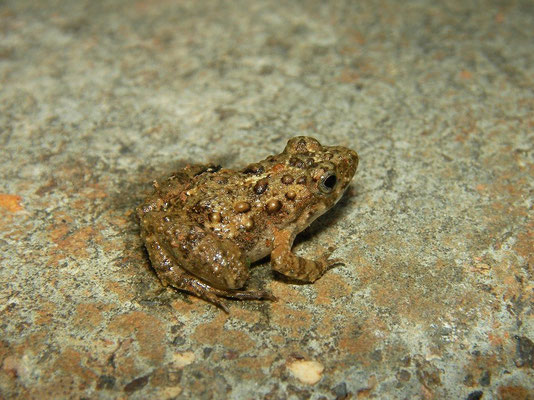 Dwarf Puddle Frog (Phrynobatrachus mababiensis)