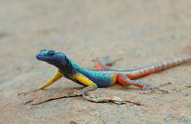 Augrabies Flat Lizard (Platysaurus broadleyi) male