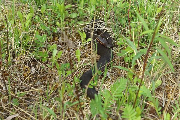 Adder (Vipera berus) melanistic female