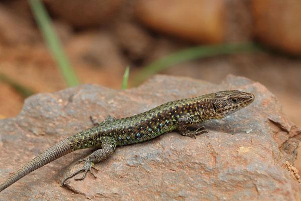 Jackson's Forest Lizard (Adolfus jacksoni)