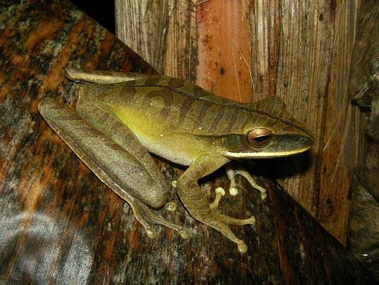 Rocket treefrog (Hypsiboas lanciformis)