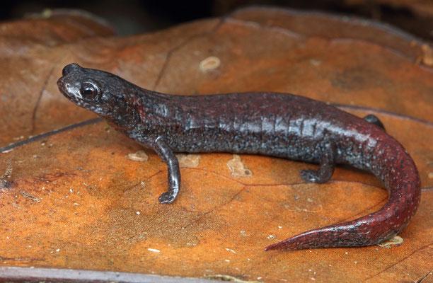 Paddletail Salamander (Bradytriton silus)