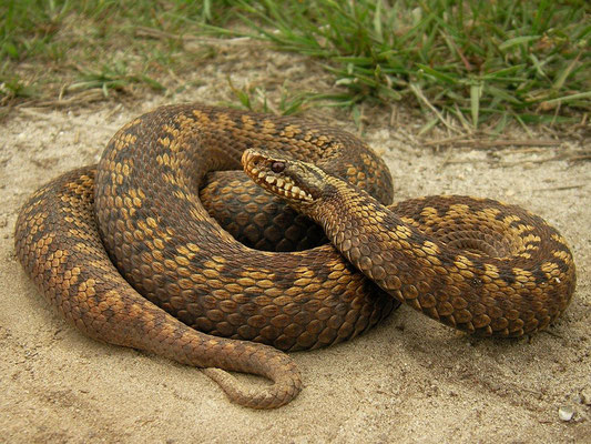 Adder (Vipera berus) female, Twente, the Netherlands, June 2008