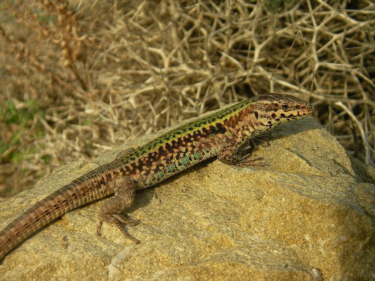 Skyros Wall Lizard (Podarcis gaigeae), Skyros, Greece, October 2015