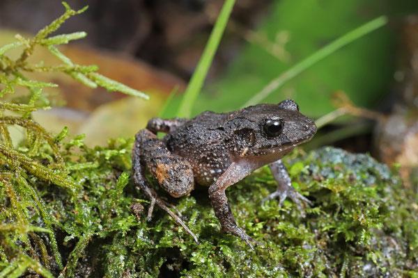 Underwood's Litter Frog (Craugastor underwoodi)