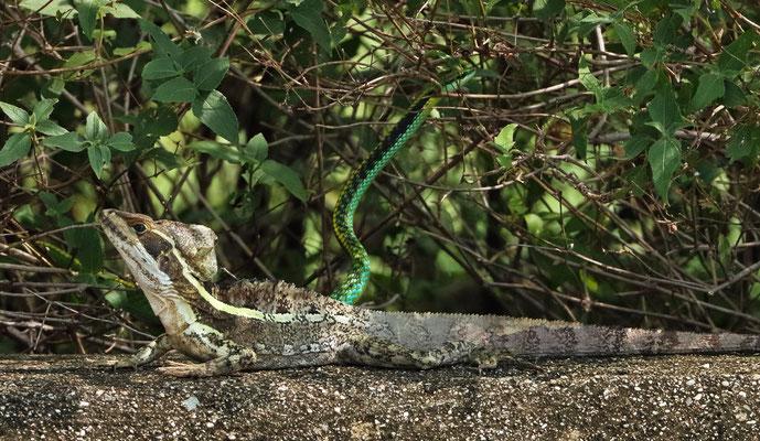 Brown Basilisk (Basiliscus vittatus) with Pacific Coast Parrot Snake (Leptophis diplotropis).