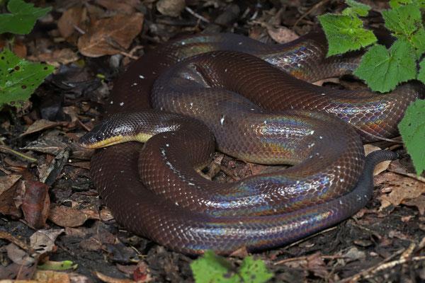 Burrowing Python (Loxocemus bicolor)