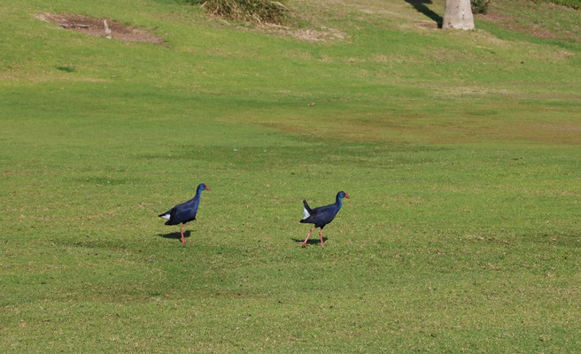 Purple Gallinules (Porphyrio porphyrio) are rather common in such places.