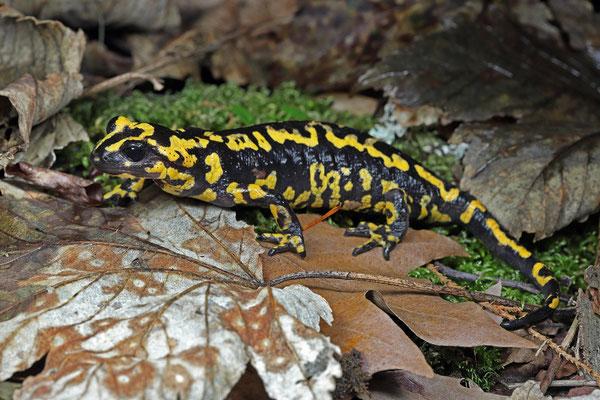 Fire Salamander (Salamandra salamandra gallaica)