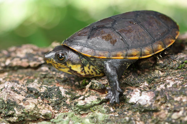 Mexican Musk Turtle (Staurotypus triporcatus), these turtles are known to feed on other turtle species.
