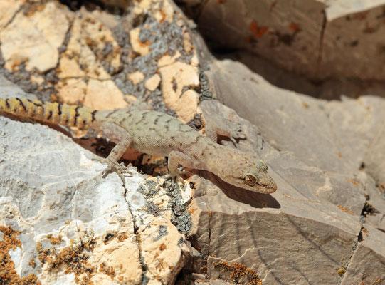 Hermon Bowfoot Gecko (Mediodactylus amictophole)