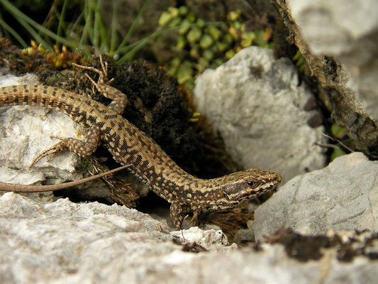 Common Wall Lizard (Podarcis muralis), Picos de Europa, Spain, April 2012
