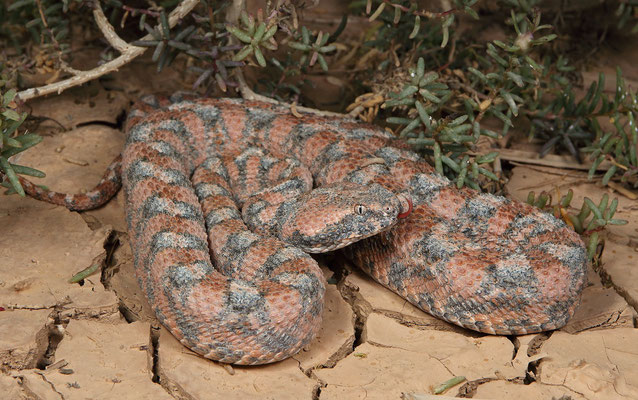 Palestine Saw-scaled Viper (Echis coloratus)