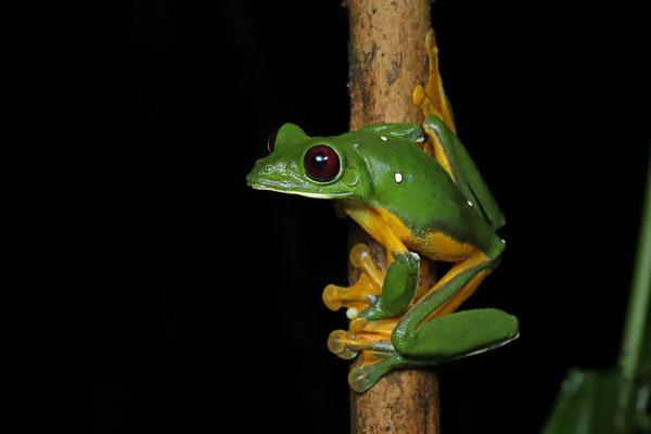 Orange-sided Gliding Leaf Frog (Agalychnis spurrelli)