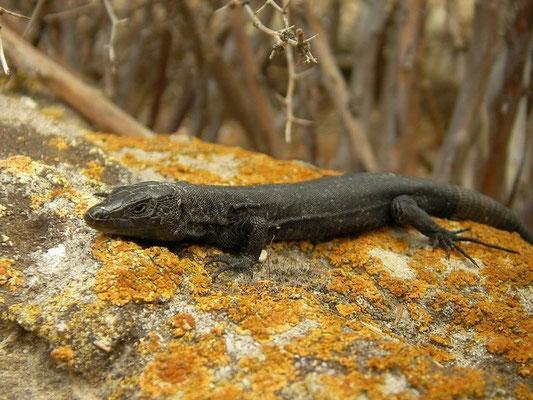 Lilford's Wall Lizard (Podarcis lilfordi fahrae), Ille de Porrassa, Mallorca, Spain, July 2011