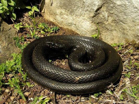 Grass Snake (Natrix natrix persa), melanistic individual, Dalyan, Turkey, February 2012