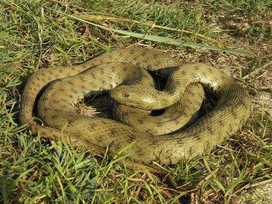 Dice Snake (Natrix tessellata) very large individual, Danube Delta, Romania, October 2014