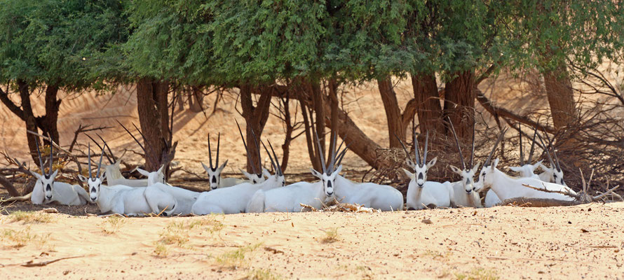 Arabian Oryx (Oryx leucoryx) resting in the shade.