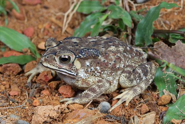 Asian Black-spined Toad (Duttaphrynus melanostictus)