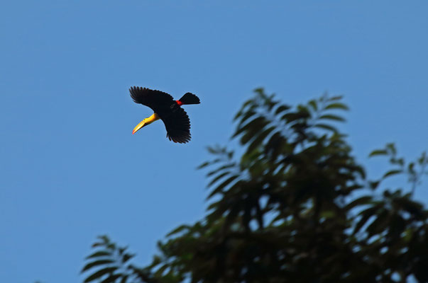 Keel-billed Toucan (Ramphastos sulfuratus) in flight.