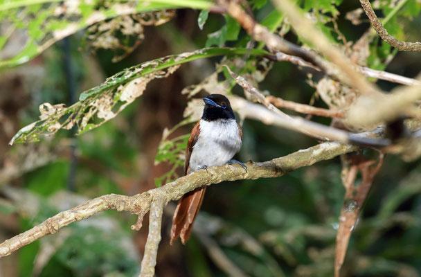 Seychelles Paradise Flycatcher (Terpsiphone corvina) female
