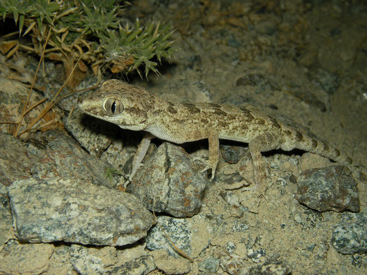 Hajar Rock Gecko (Trachydactylus hajarensis)