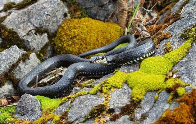 Melanistic Grass Snake (Natrix natrix)