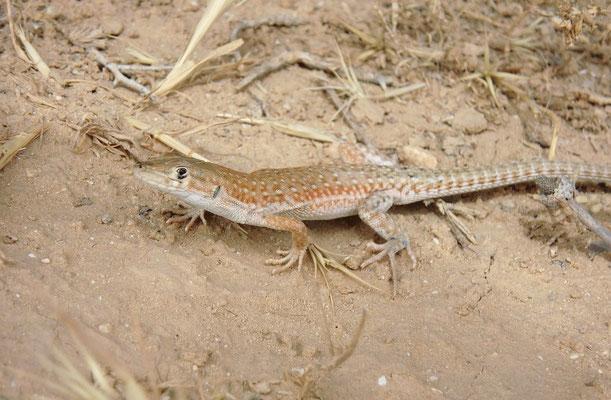 Small-spotted Lizard (Mesalina guttulata)