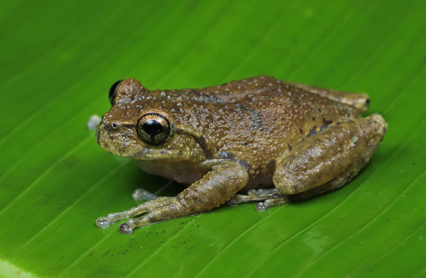 Matuda's Spikethumb Frog (Plectrohyla matudai)