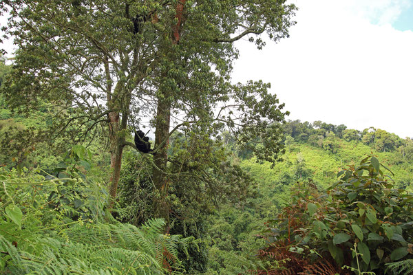 Although they spend most of their time on the forest floor, the gorillas were much more arboreal than I thought.