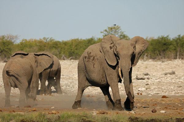 Playfull African Savanna Elephant (Loxodonta africana)