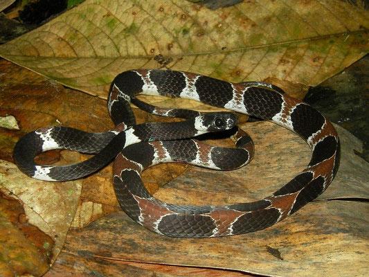 Ornate snail-eating snake (Dipsas catesbyi)