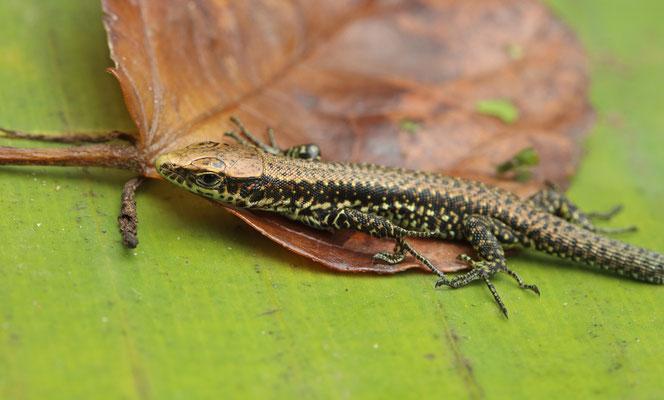 Jackson's Forest Lizards (Adolfus jacksoni) juvenile