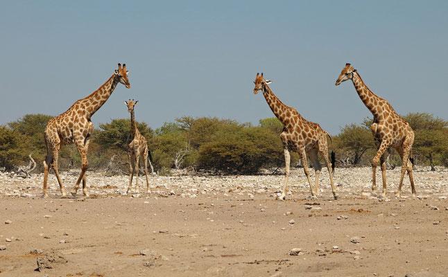 Southern Giraffes (Giraffa giraffa)