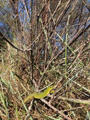 Western Green Lizard (Lacerta bilineata) basking