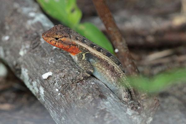 Rose-bellied Spiny Lizard (Sceloporus variabilis)