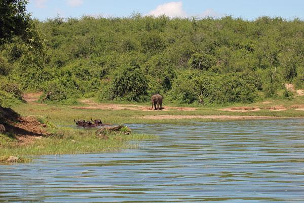 African Buffalo (Syncerus caffer) and African Bush Elephant (Loxodonta africana).