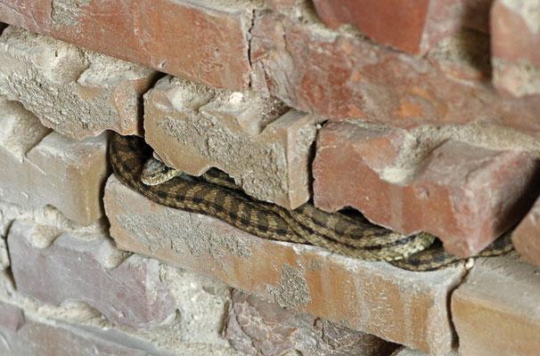 Four-lined Snake (Elaphe quatuorlineata)