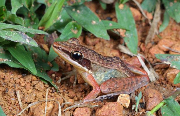 Nicobar Cricket Frog (Hylarana nicobariensis)