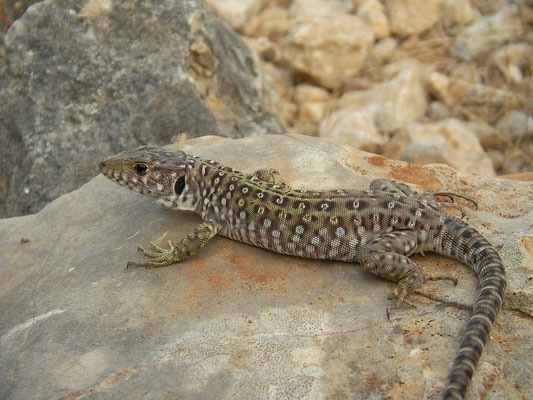 Ocellated Lizard (Timon nevadensis) juvenile, Murcia, Spain, October 2011