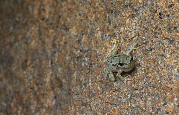 Calling male Tyrrhenian Tree Frog (Hyla sarda), not so easy standing half in the water on a narrow ledge.