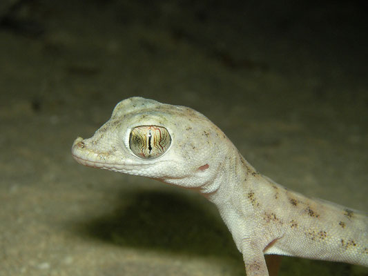 Gulf Short-fingered Gecko (Pseudoceramodactylus khobarensis)
