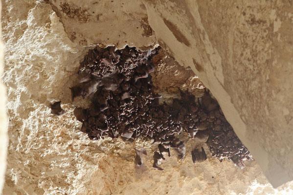 Roost of Egyptian Fruitbat (Rousettus aegyptiacus)