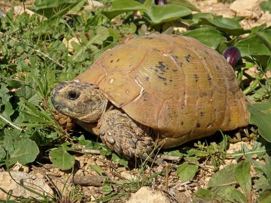 Spur-thighed Tortoise (Testudo graeca marokkensis)