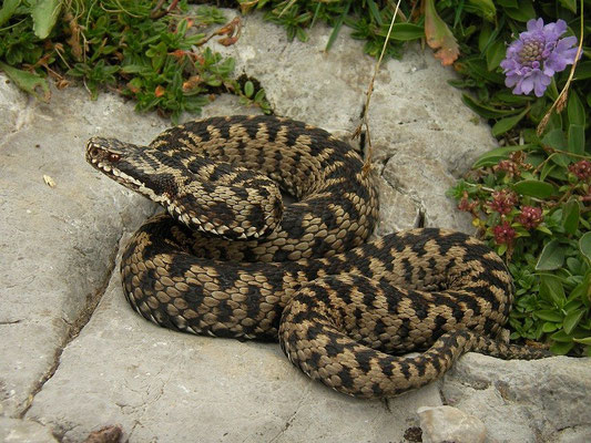 Adder (Vipera berus), Italian clade, Javorniki mountains, Slovenia, August 2014
