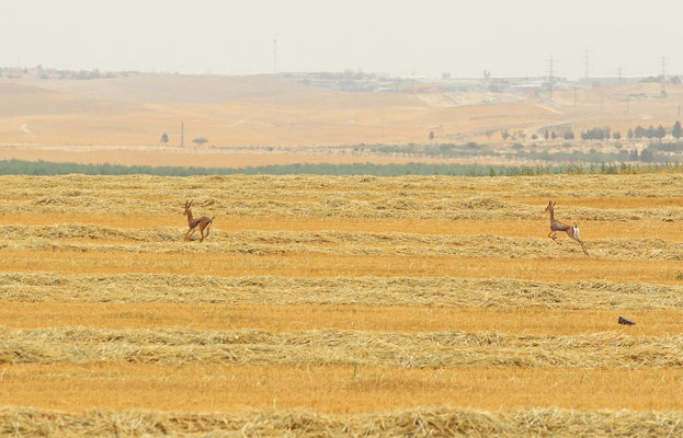 A pair of Mountain Gazelle (Gazella gazella) on the run.