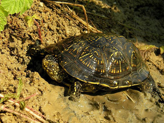 European Pond Terrapin (Emys orbicularis), Slovenia, July 2010