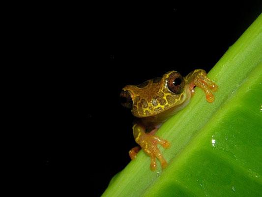 Clown treefrog (Dendrosophus leucophyllatus)