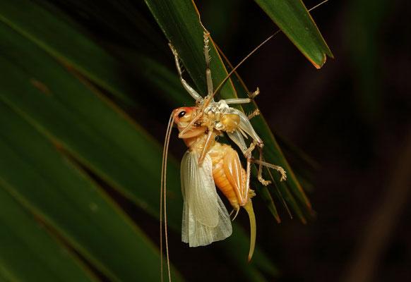 Seychelles Palm Cricket (Prosopogryllacris sechellensis) molting